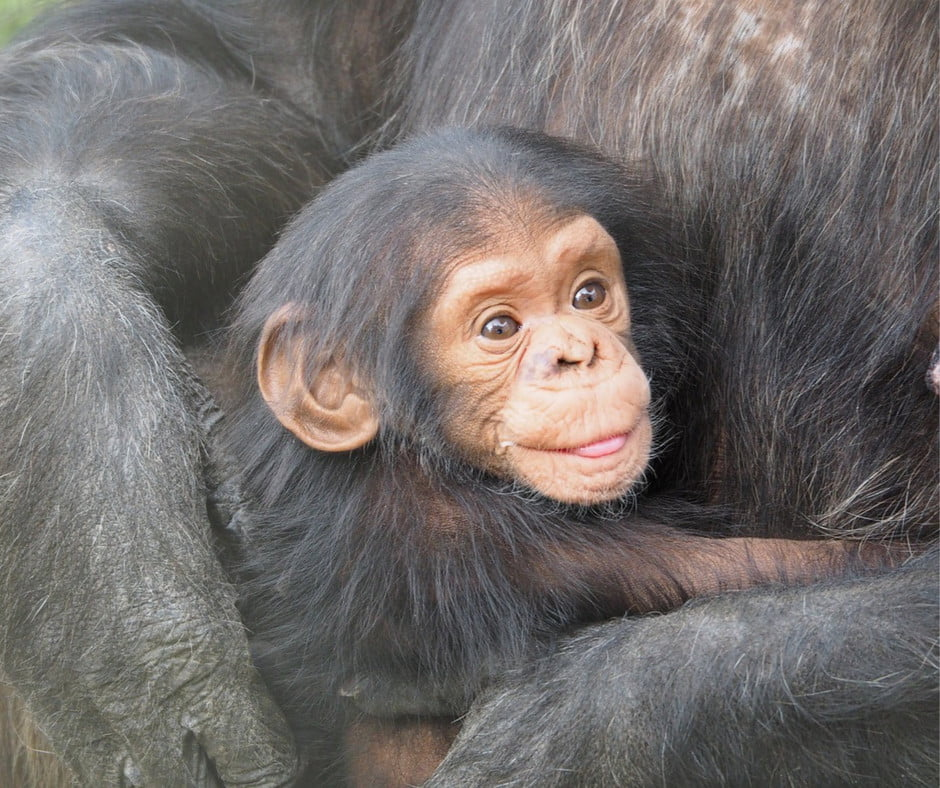 Chimp and its Mother